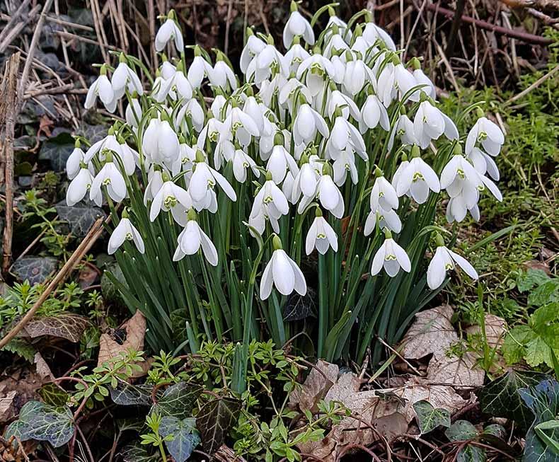 Spring Snowdrops in the garden