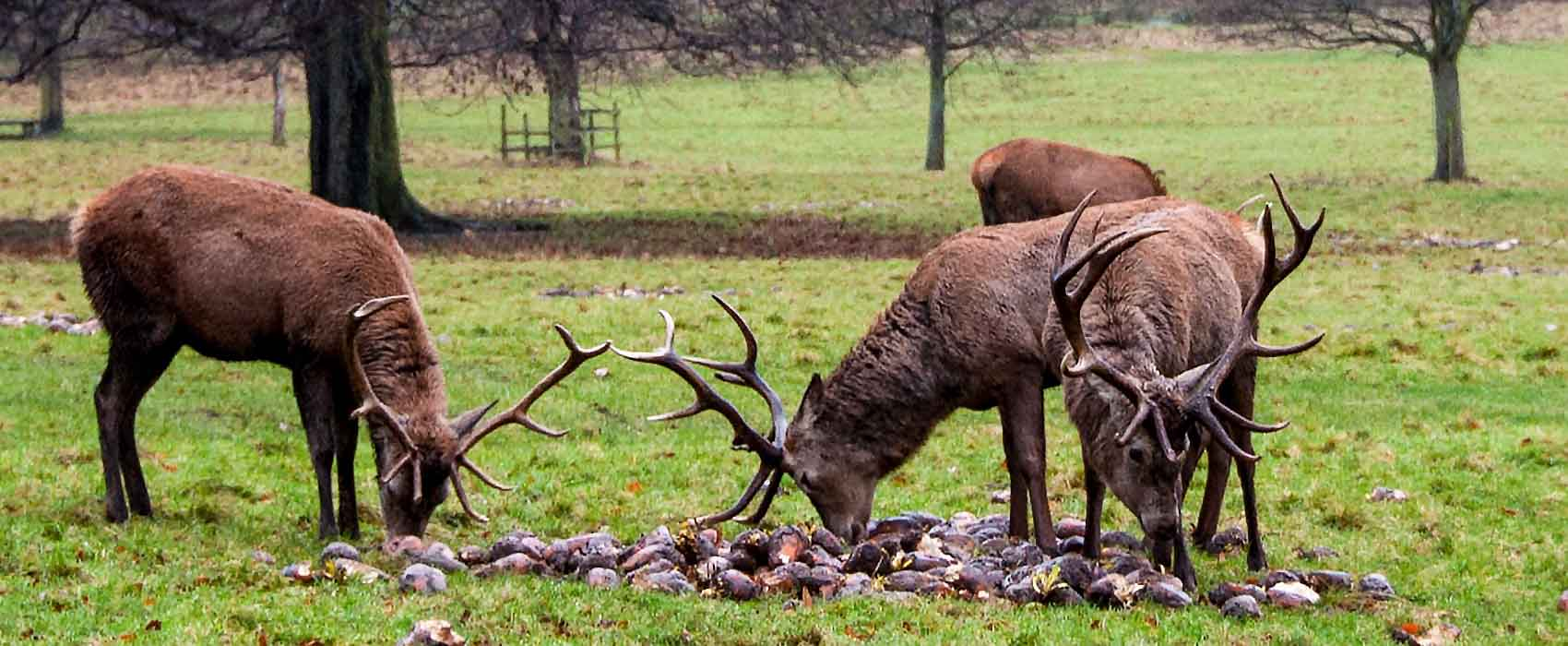 stags-Chatsworth-House