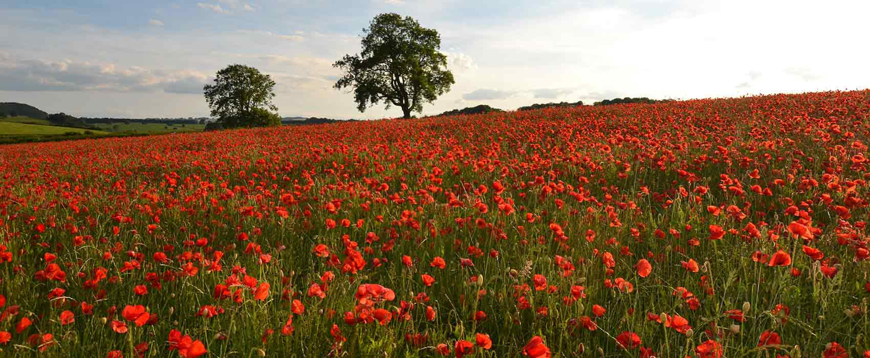 Baslow field of poppies with trees on horizon towards Chatsworth House