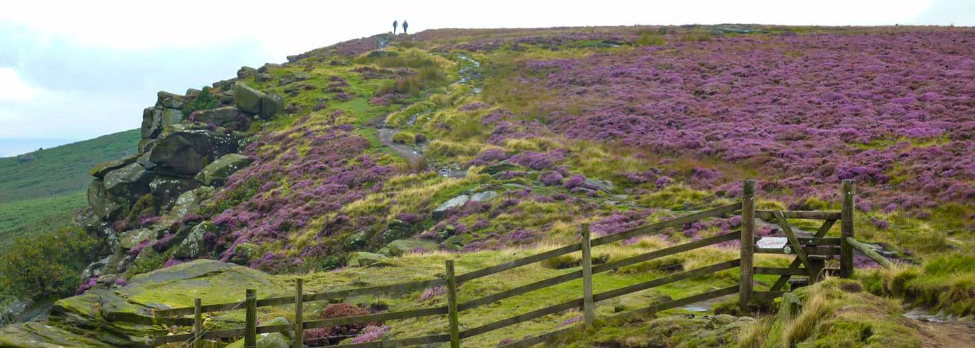 views out across Stanage Edge with purple heather in the Peak District National Park
