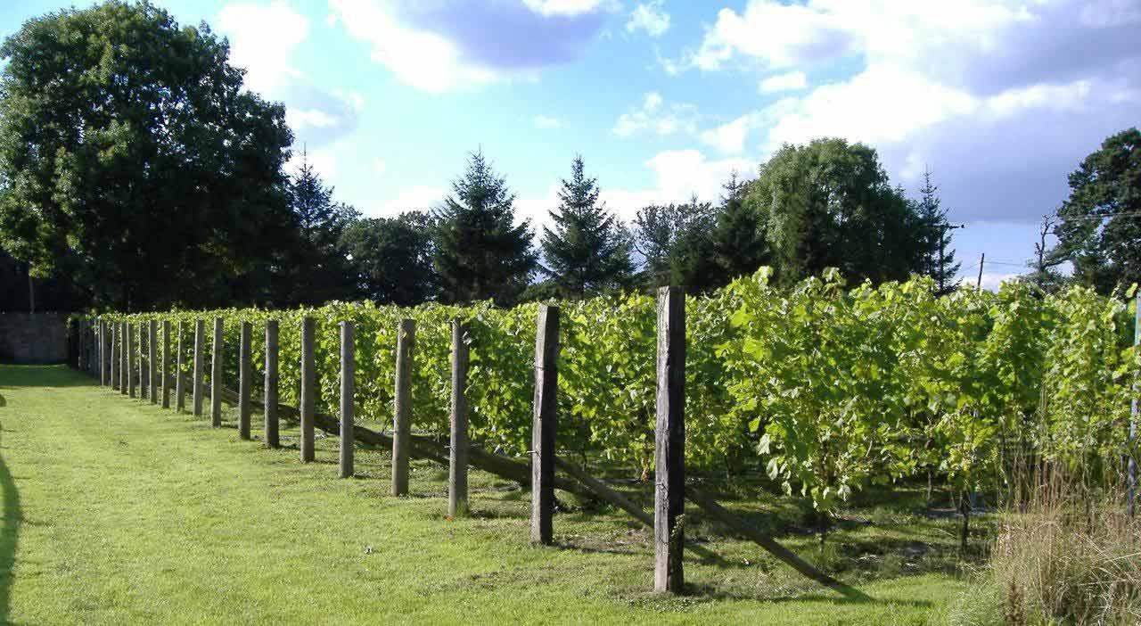 The vines at Renishaw Hall vineyard