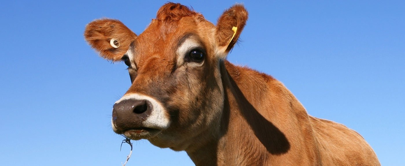 Jersey cow for raw jersey milk