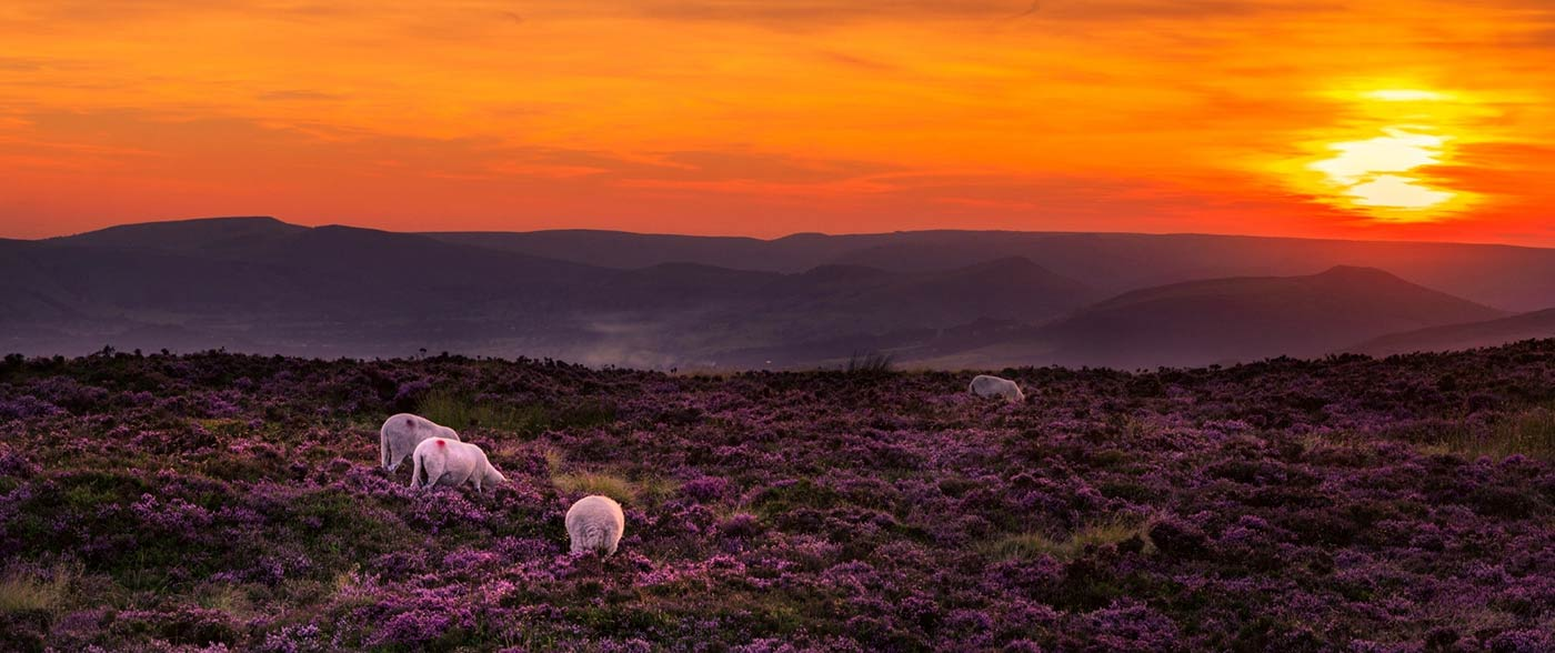 Sunset over the Peak District with heather and sheep